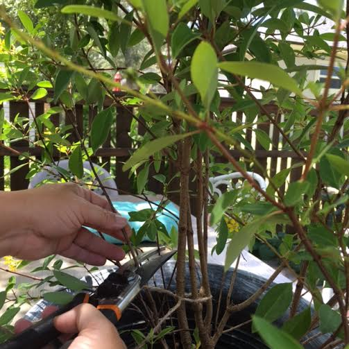 Trim branches of an ordinary shrub to create a DIY Garden Topiary that won't break your budget.