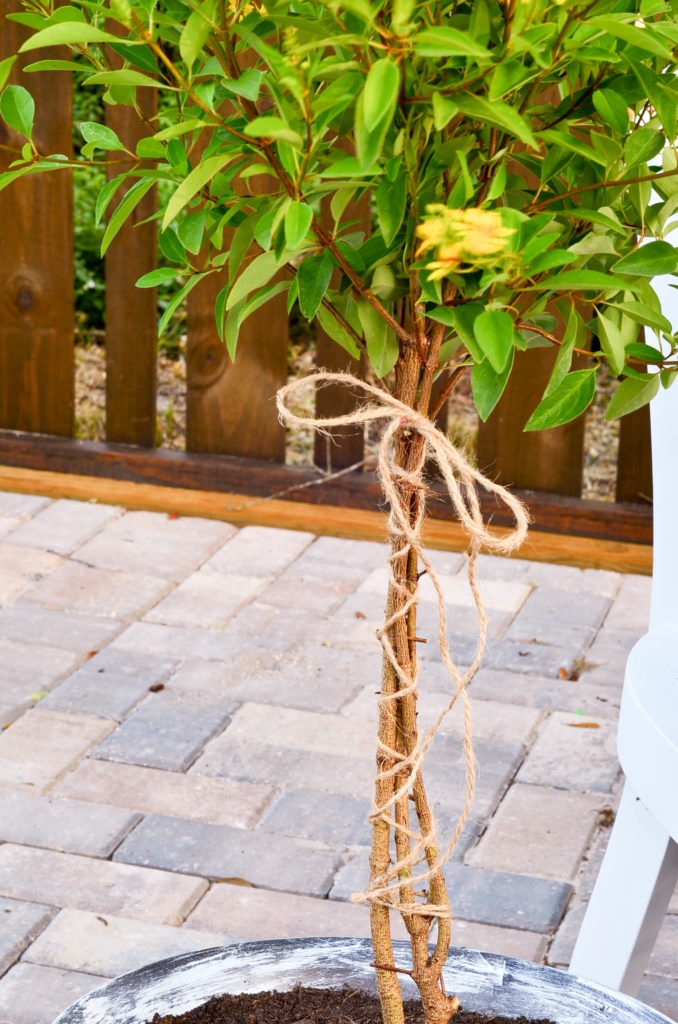Use twine to tie up the stems of a shrub to create a DIY topiary